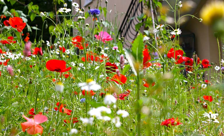 Poppies and other wildflowers growing next to building