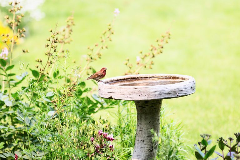 Wooden birdbath in garden with male house finch in it